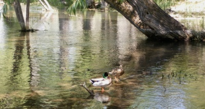 Two ducks floating in a pond
