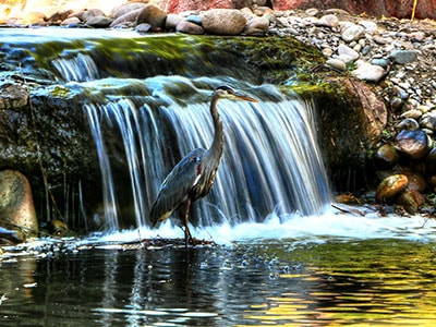 A herron standing in front of a small waterfall in an Eagle Idaho pond