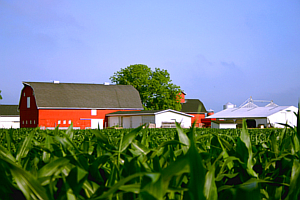 Red barn surrounded by corn fields