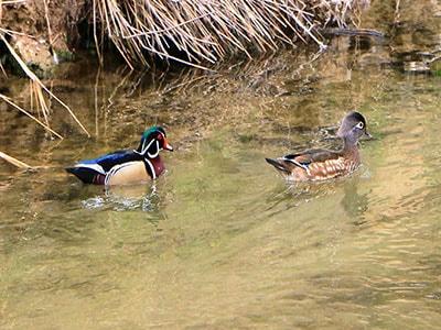 Ducks enjoying the water in Nampa